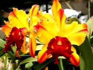 Cattleya Special