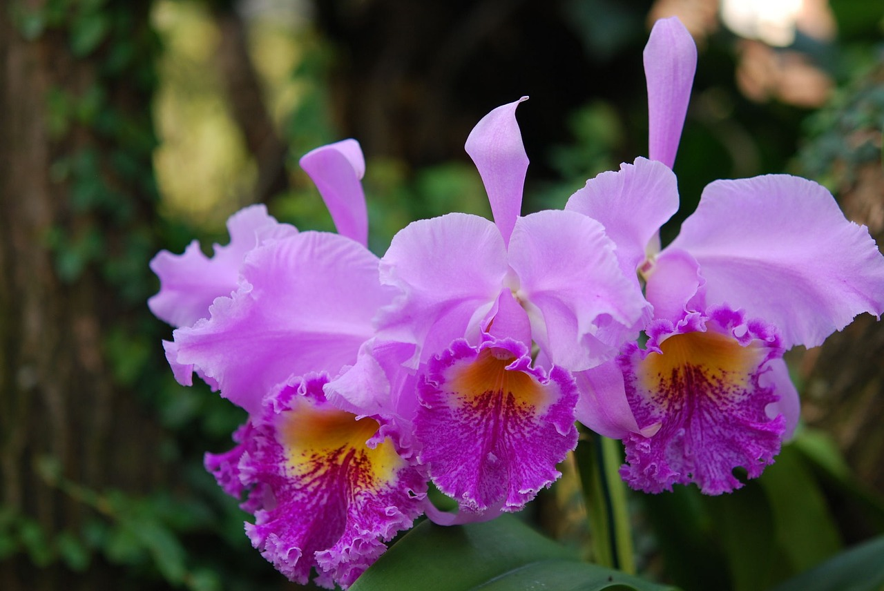 Cattleya orchids traits types care for Orchidea cattleya