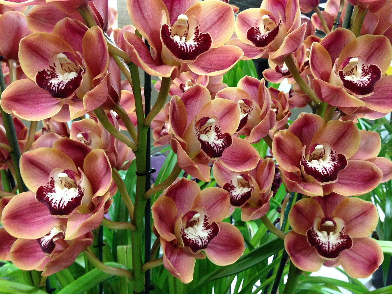 Cymbidium Orchids How To Grow Different Types Of Cymbidium