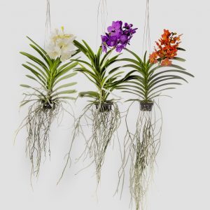 How to care for vanda orchids How do you care for orchids after they bloom