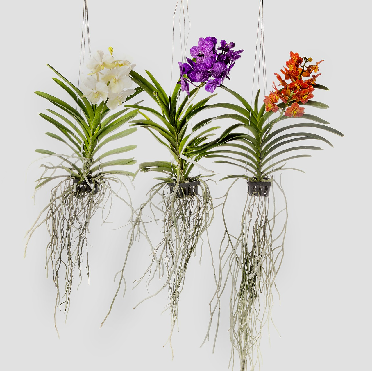 Vanda The Original Indian Name For Orchids Grows In Regions Ranging From India To Phillipines And Consists Of About 60 Species Plant Is An