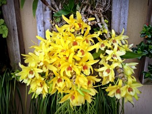 Dendrobium Orchid Care Cold Cool And Warm Dendrobiums