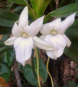 Angraecum magdalenae 2