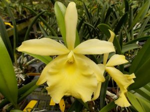 Brassavola Jimminey