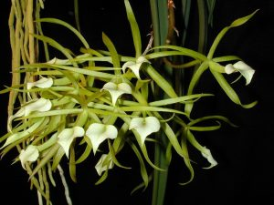 Brassavola subulifolia cordata
