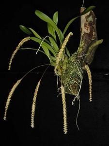 Dendrochilum smithianum
