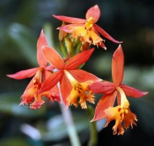Epidendrum Reedstem Orchid
