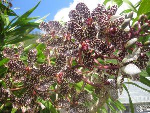 Grammatophyllum Wallisii