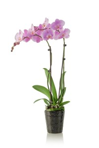 phalaenopsis orchids for sale lots of plants in one place. Black Bedroom Furniture Sets. Home Design Ideas