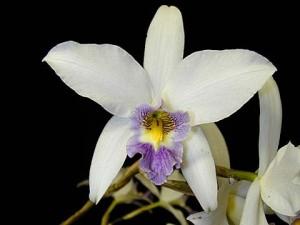 Laelia anceps v. veitchiana