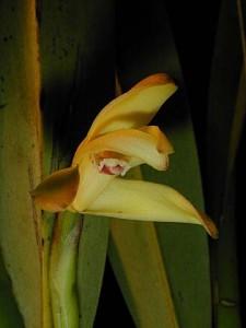 Maxillaria brunnea