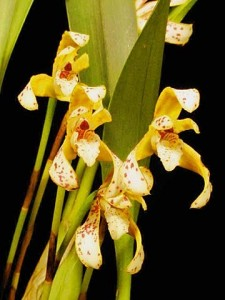Maxillaria picta for sale