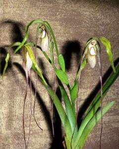 Phragmipedium warszewiczianum