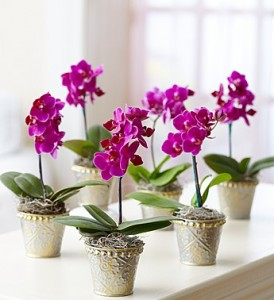 Phalaenopsis Orchids For Sale Lots Of Plants In One Place