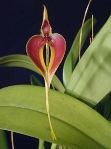 Bulbophyllum blumei