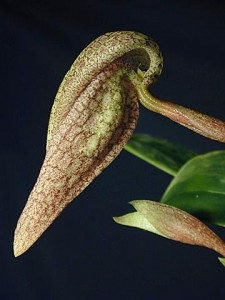 Bulbophyllum fritillariiflorum