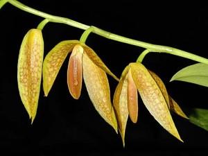 Bulbophyllum levyae