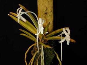 Neofinetia falcata (Onamisecai)