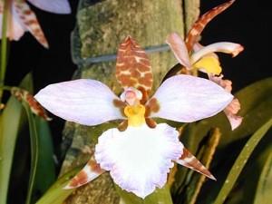 Odontoglossum ehrenbergii
