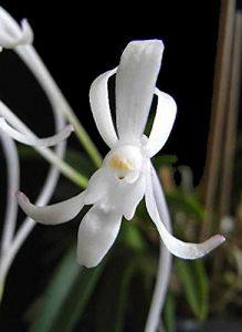 Samurai Orchid Neofinetia falcata from Japan
