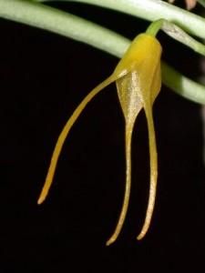 Masdevallia herradurae v. xanthina