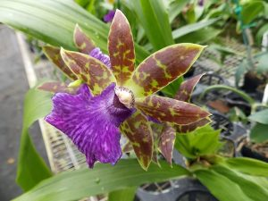 Zygopetalum orchids for sale