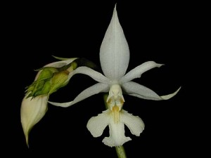 Calanthe arisanensis
