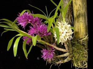 Mini Orchids Growing Species Care Mini Orchids For Sale