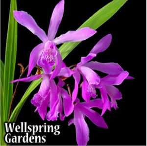 Ground Orchid - Bletilla Striata