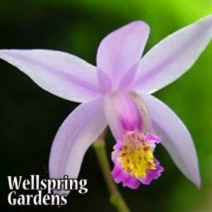Ground Orchid - Bletilla yokohama