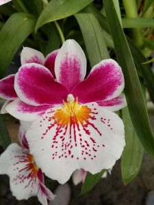Miltonia Breathless Hilo Galaxy
