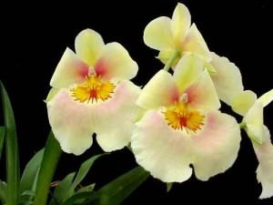 Miltoniopsis Andrea West