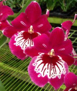 Miltoniopsis Hajime Ono