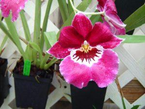 Miltoniopsis Hajime Ono Raspberry