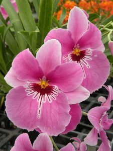 Miltoniopsis Lovers Point
