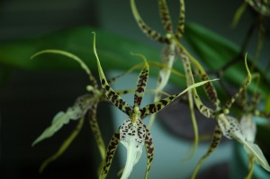 Brassia Orchids Features Culture Plants For Sale