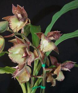 Catasetum Frilly Doris
