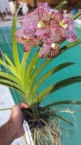 Orchid Vanda Kulwadee Fragrance
