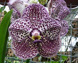 Orchid Vanda Kulwadee Fragrant Dark Blue Spots