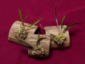 Miniature Brassavola Nodosa