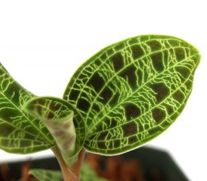 Macodes petola Jewel Orchid