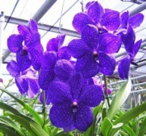 VANDA PACHARA orchid