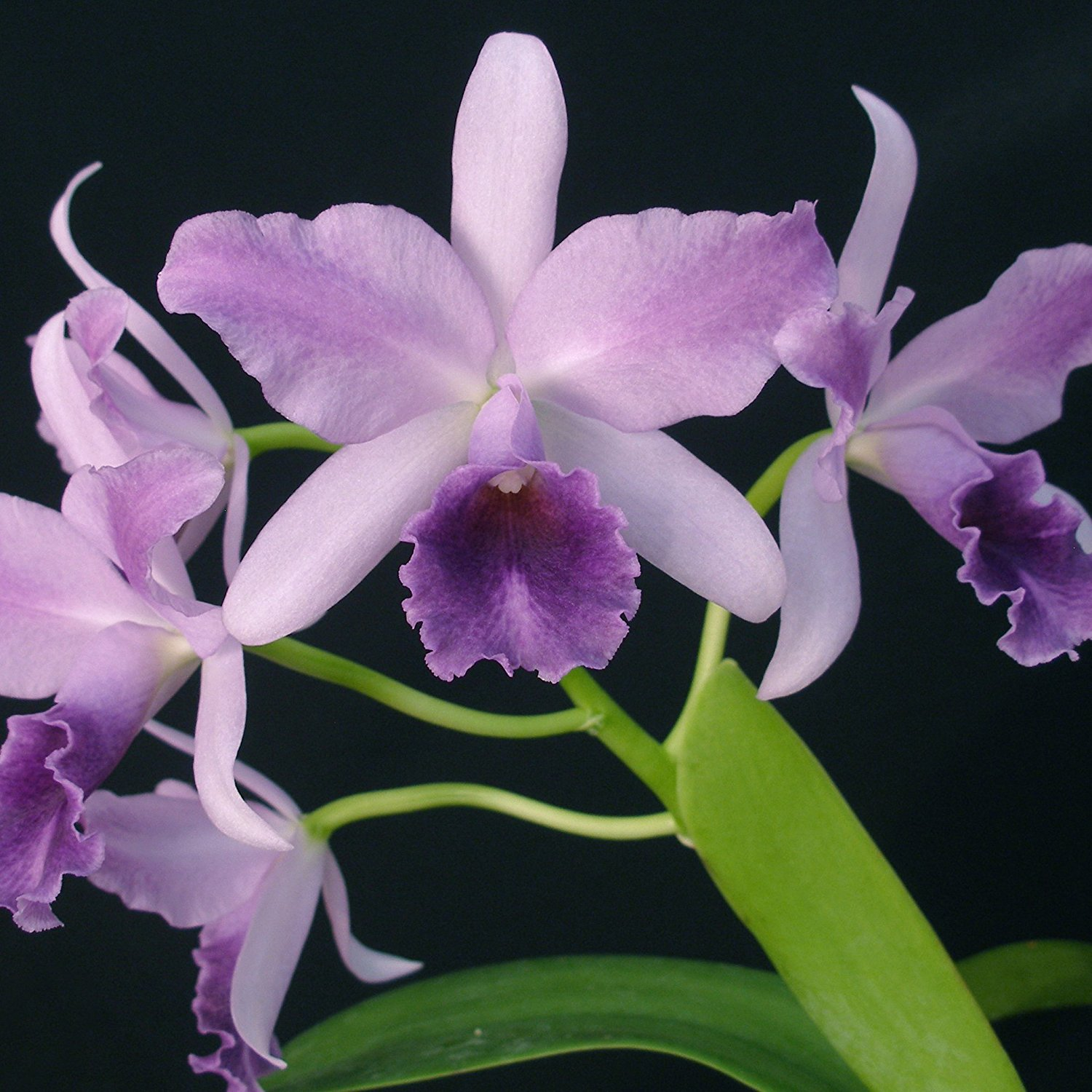 Breeds Of Orchids: Cattleya Orchids: Traits