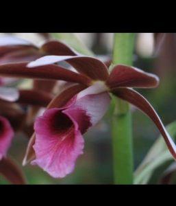 Phaius Nuns orchid