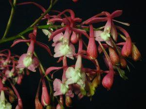 Epidendrum porphyreum