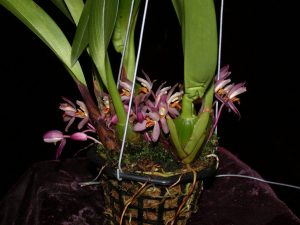 Maxillaria richii embreei