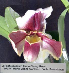 Paphiopedilum Hung Sheng Royal Bare