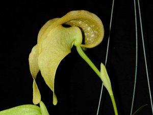 Bulbophyllum grandiflorum