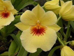 Miltoniopsis Hawaiin Punch Kalapana