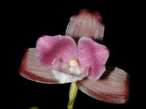 Lycaste brevispatha orchid